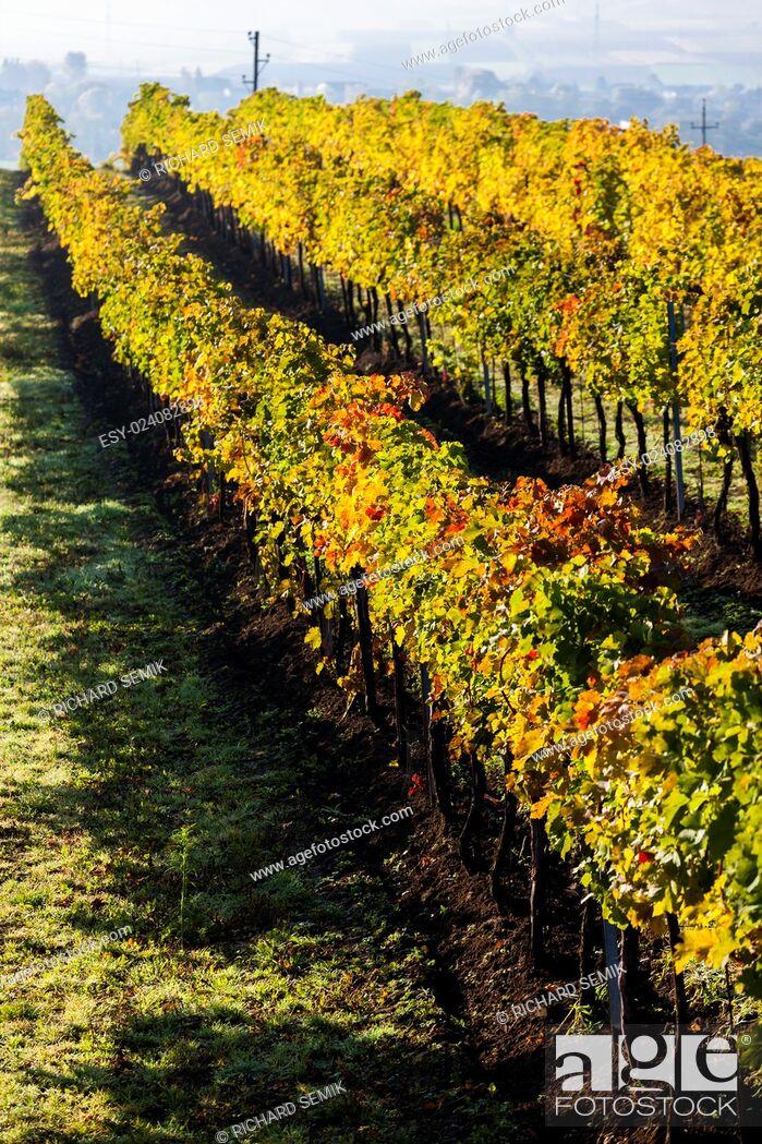 Stock Photo: autumnal vineyard, Lower Austria, Austria.