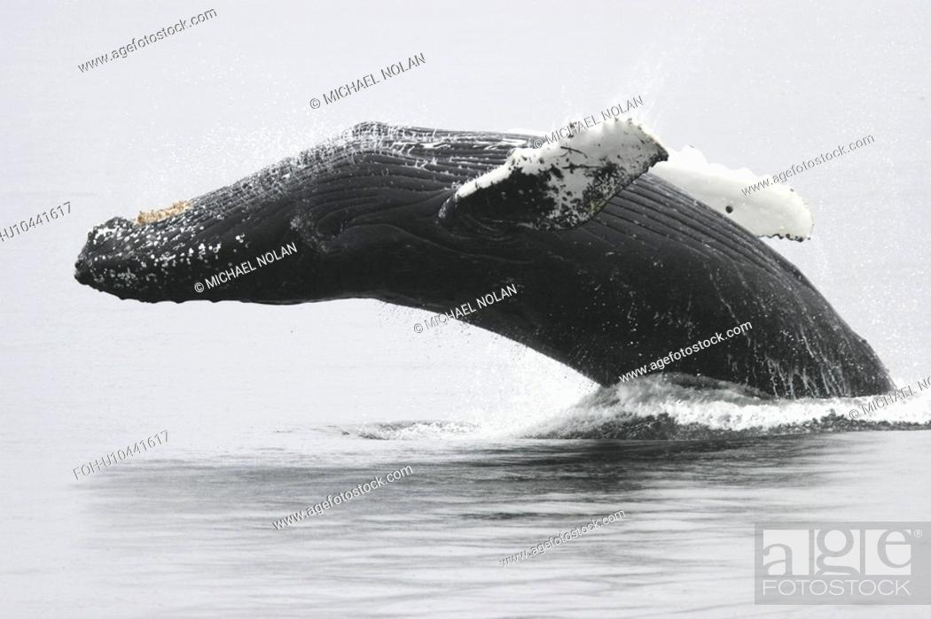 Stock Photo: Humpback Whale Megaptera novaeangliae Adult breaching near the Five Fingers Island Group in Southeast Alaska, USA. Pacific Ocean.
