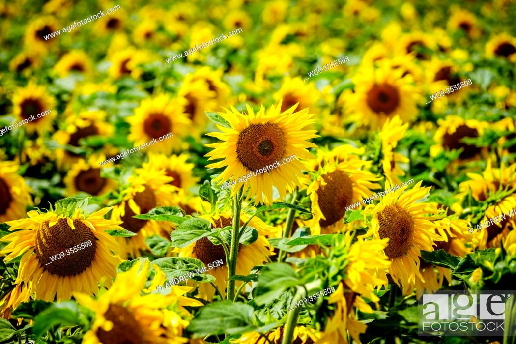 Stock Photo: Sunflowers growing in the Pays de la Loire, France.