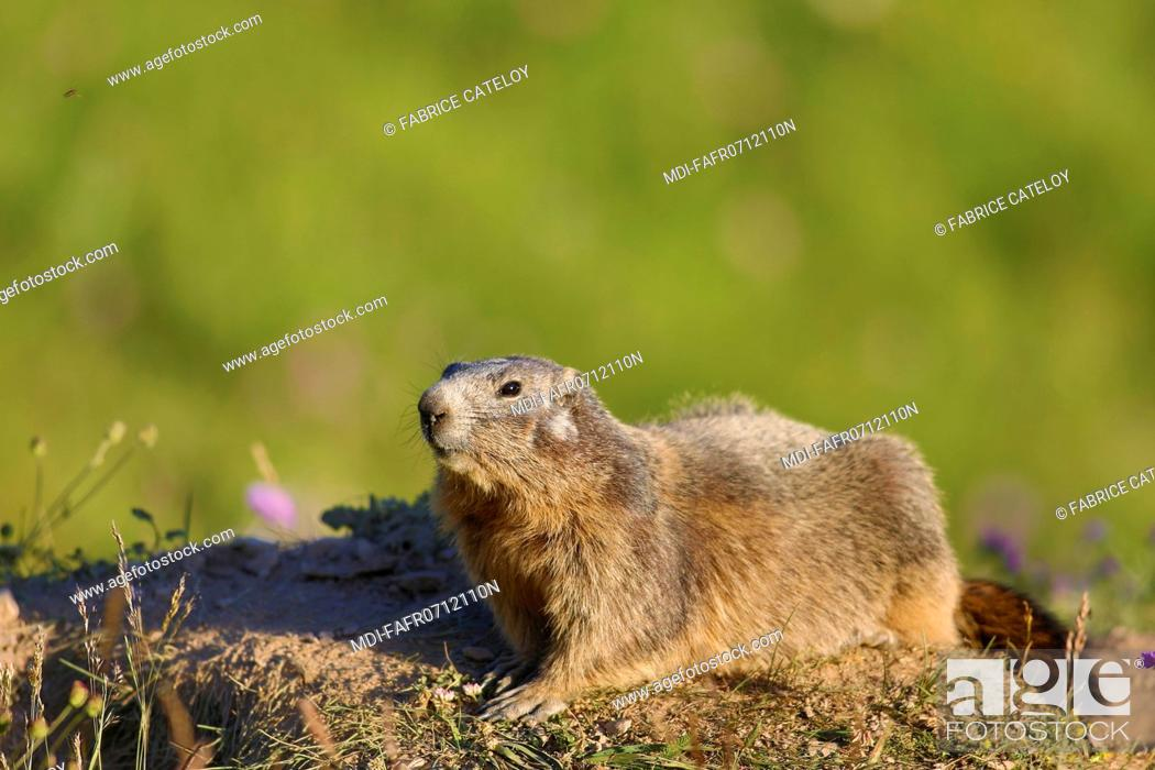 Imagen: Nature - Fauna - Marmot - Marmot in the natural regional park of Queyras.