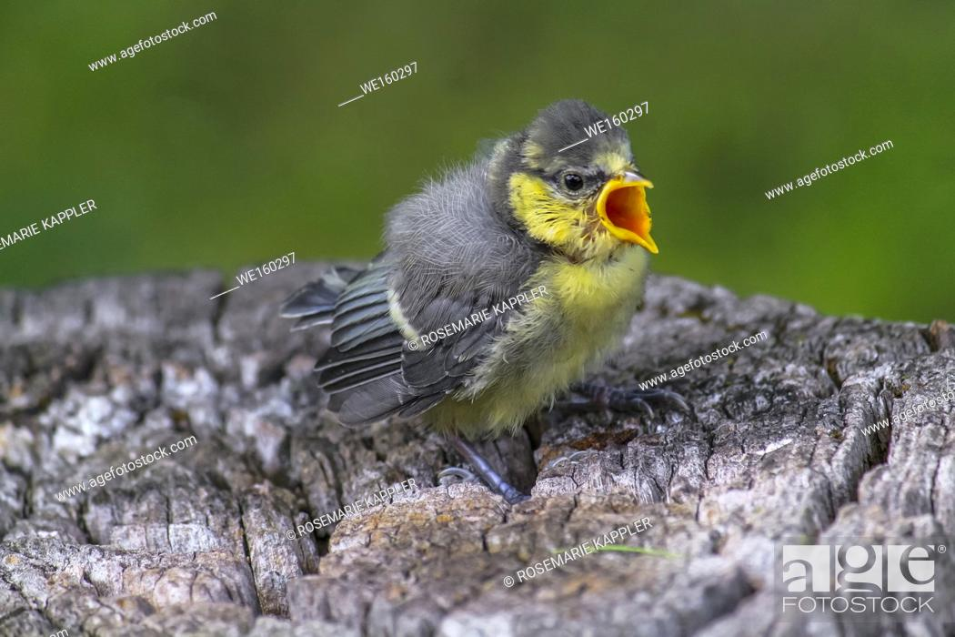 Stock Photo: A bluetit is sitting on a branch. Germany.