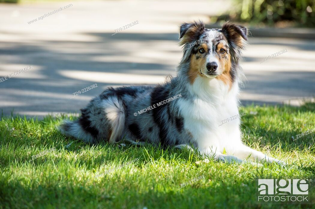 Stock Photo: An Australian Shepherd waits patiently for its owners return.