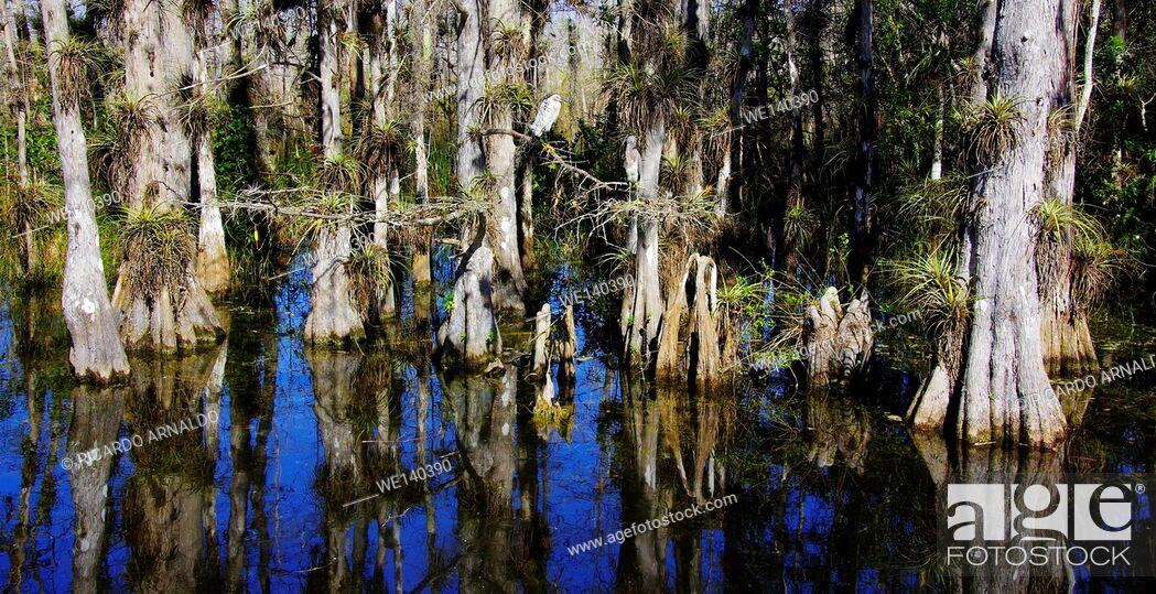 Stock Photo: Egret in Big Cypress Swamp Preserve.