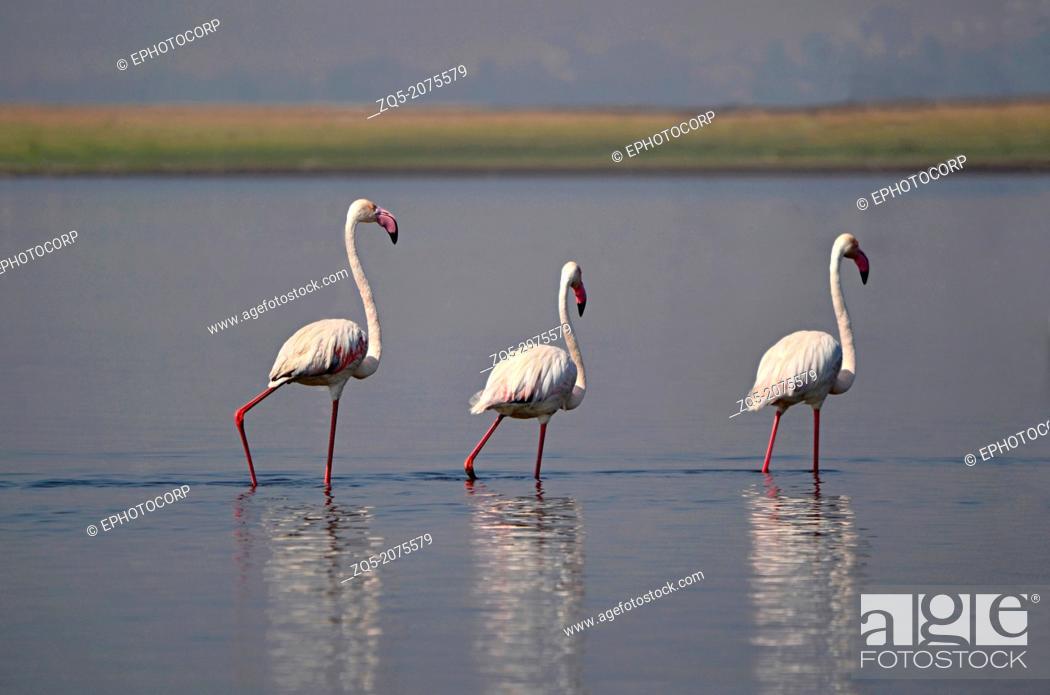 Stock Photo: The Greater Flamingo, Phoenicopterus roseus, India.