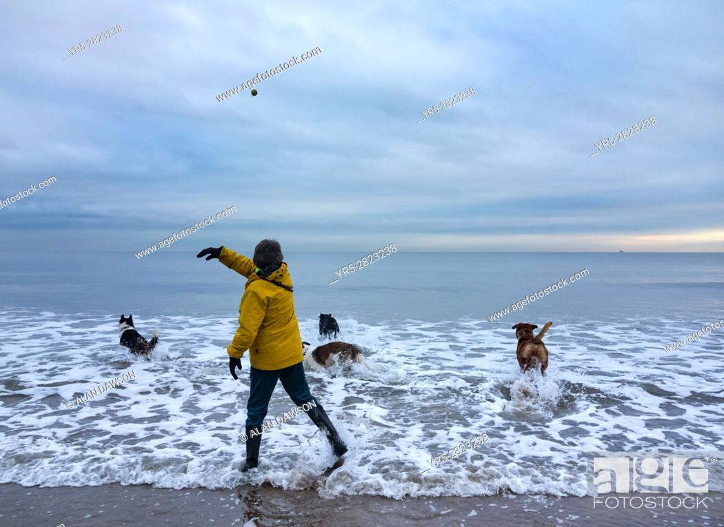Stock Photo: Seaton Carew, north east England. United Kingdom. Mature woman walking dogs on beach in winter throwing ball into the cold North sea with dogs giving chase.