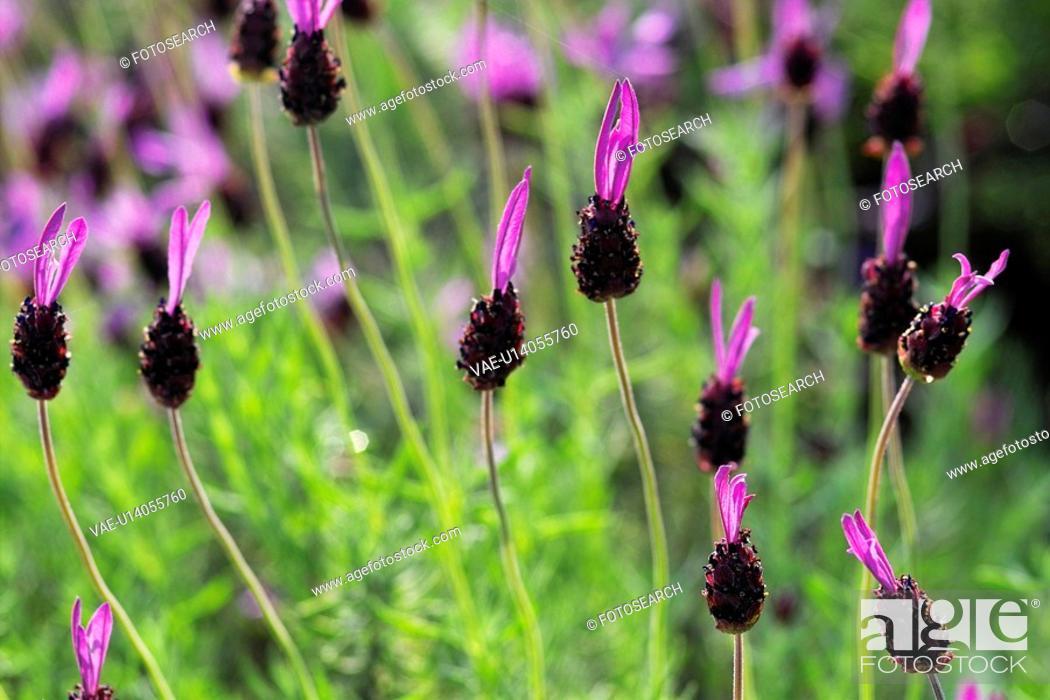 Stock Photo: Flench lavender.