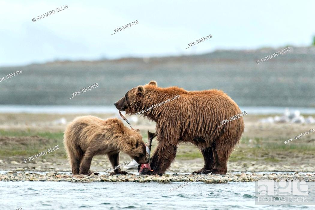 Stock Photo: A Brown bear mother shares her salmon with her yearling cub along the lower lagoon at the McNeil River State Game Sanctuary on the Kenai Peninsula, Alaska.