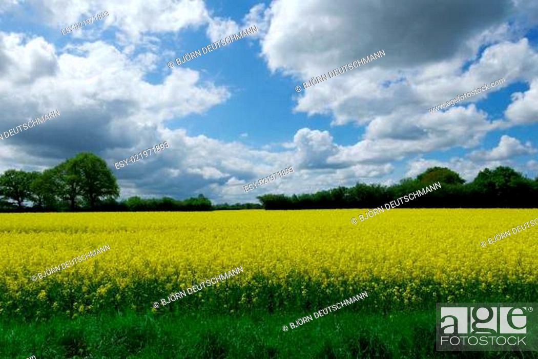 Stock Photo: Rapeseed (Brassica napus).