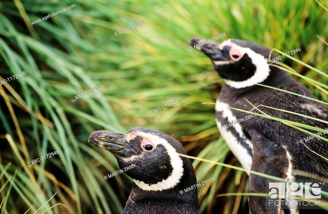 Stock Photo: Magellanic penguin Spheniscus magellanicus in a thicket of Tussock Gras, the natural vegetation of the Falkland Island coastline  The range of Magellanic.