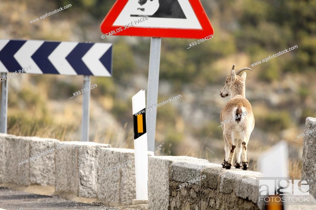 Stock Photo: Western Spanish Ibex (Capra pyrenaica victoriae), Sierra de Gredos, Spain.