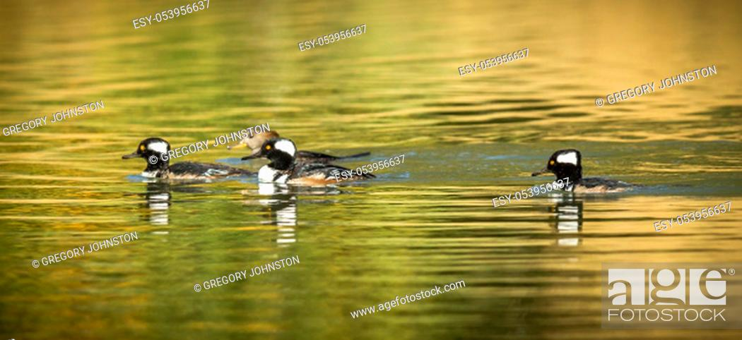 Stock Photo: Panorama of Hooded mergansers in the pond at Cannon Hill Park in Spokane, Washington.