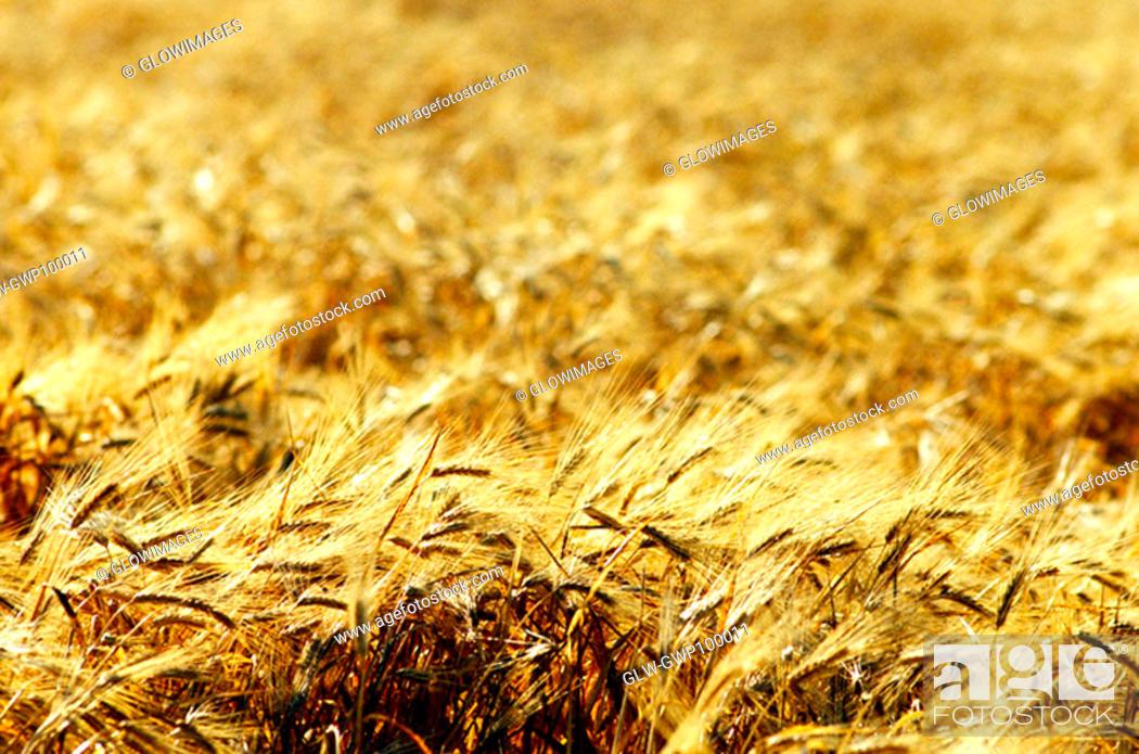 Stock Photo: Wheat field in Southern California.