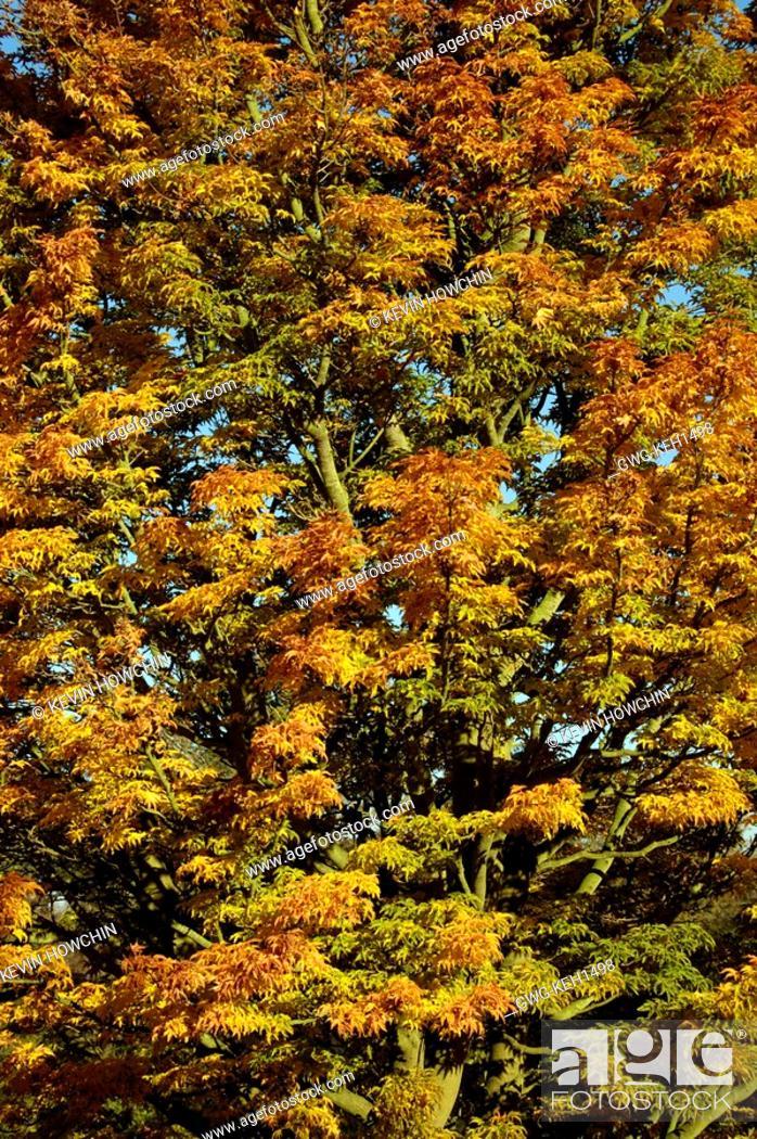 Acer Palmatum Shishigashira Japanese Maple Autumn Stock Photo