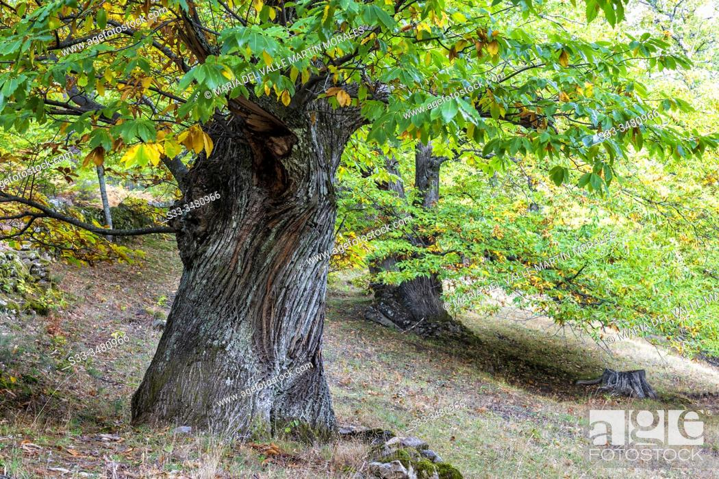 Stock Photo: Two big chestnut trees in fall time in Casillas. Avila. Spain. Europe.