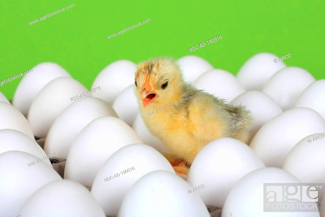 domestic fowl freshly hatched chick between eggs stock photo