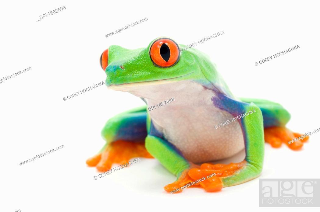 Stock Photo: Red-Eyed Treefrog Agalychnis Callidryas.