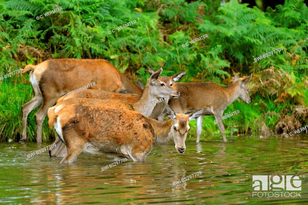 Stock Photo: red deer (Cervus elaphus), hind wading through a pond with juveniles, Germany, North Rhine-Westphalia.