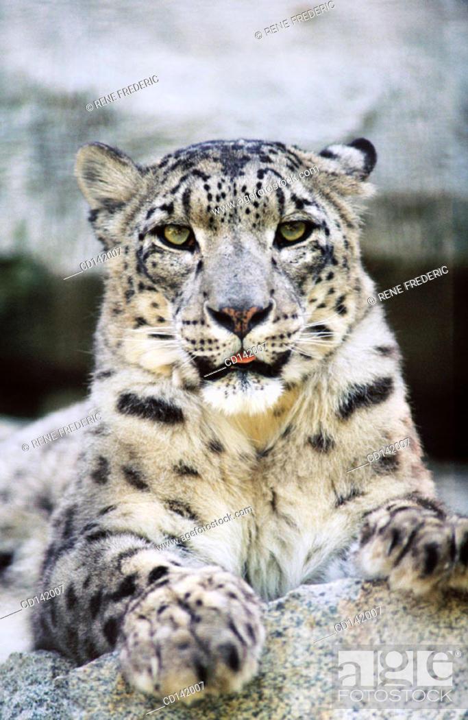 Stock Photo: Snow Leopard (Panthera uncia). Woodland Park Zoo. Seattle. Washington. USA.