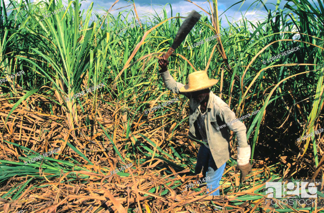 Sugar Cane Cutter Cuba Stock Photo Picture And Rights Managed