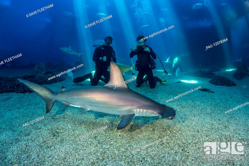 Stock Photo: Two divers get a close look at a Scalloped hammerhead shark (Sphyrna lewini) along with many other species in their big tank at the Maui Ocean Centre; Maui.