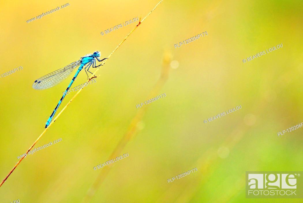Stock Photo: Common Blue Damselfly / Northern Bluet Enallagma cyathigerum on stem, the Netherlands.