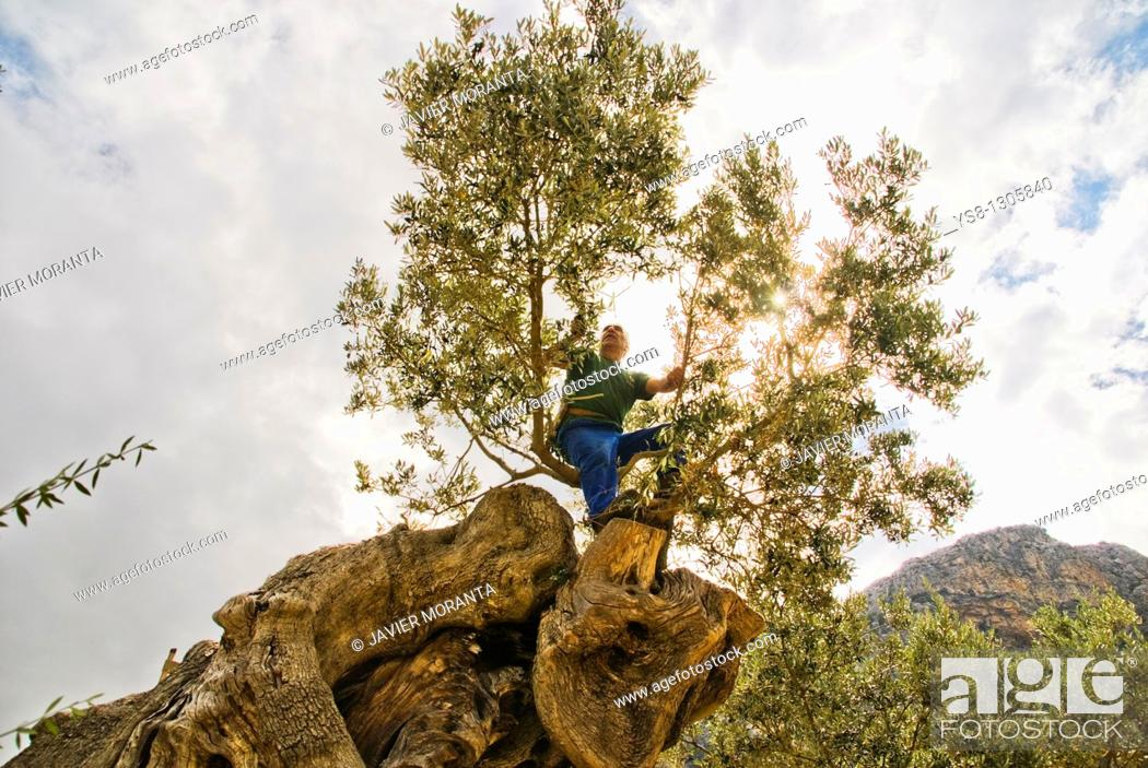 Stock Photo: Spain, Mallorca, Balearic Islands, Biniaraix, Farmers olive pruning.