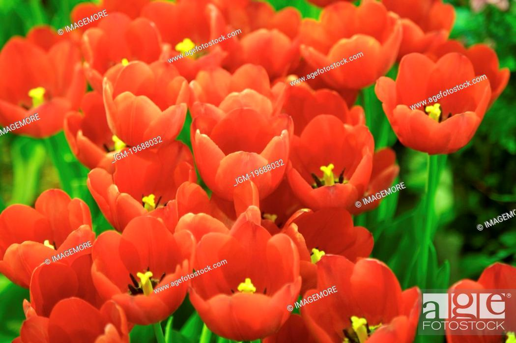 Stock Photo: Close-up of red tulip.