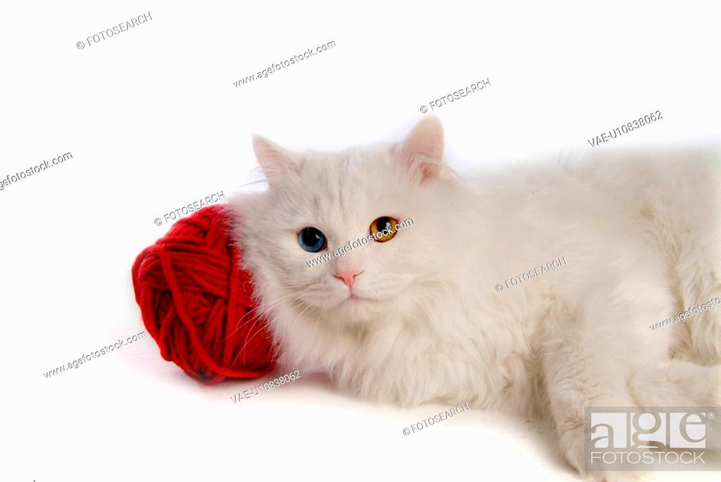 Stock Photo: lying down, domestic feline, softness, cute, domestic cat, turkish angora.