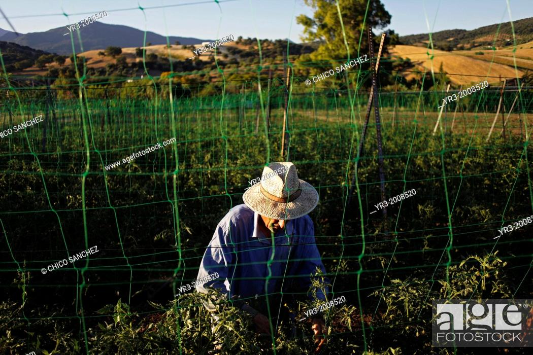 Stock Photo: A senior man wearing a hat works with tomato plants in Los Tamayos organic farm in Prado del Rey, Cadiz, Andalusia, Spain, June 24, 2013.