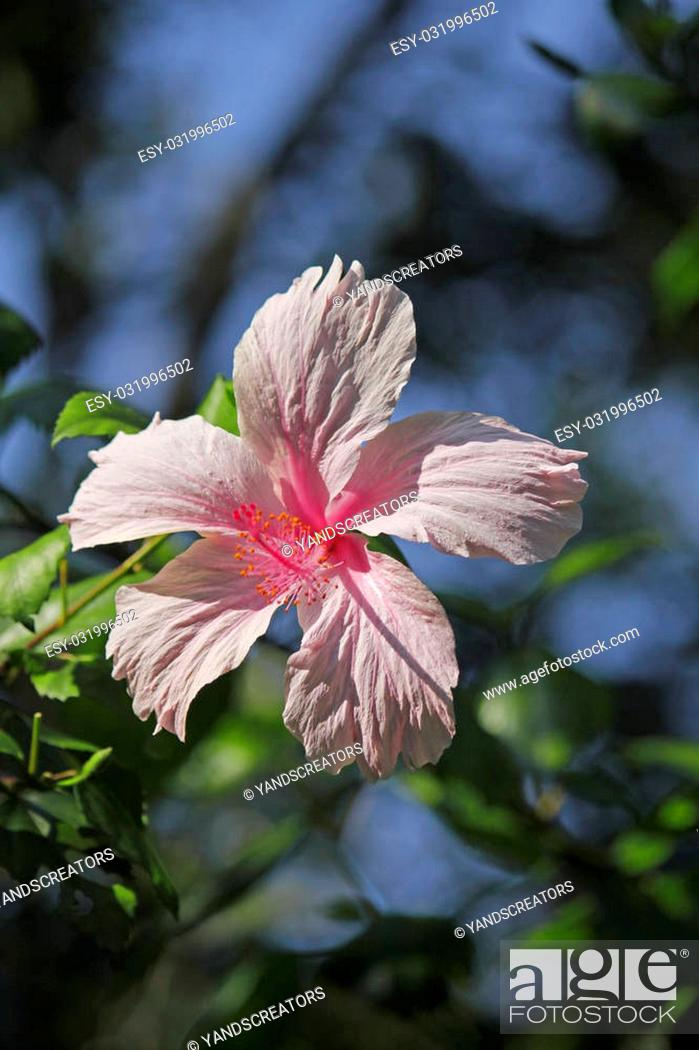 Stock Photo: Hibiscus rosa-sinensis, known as Chinese hibiscus, China rose, Hawaiian hibiscus, shoe flower is a species of flowering plant in the Hibisceae tribe of the.