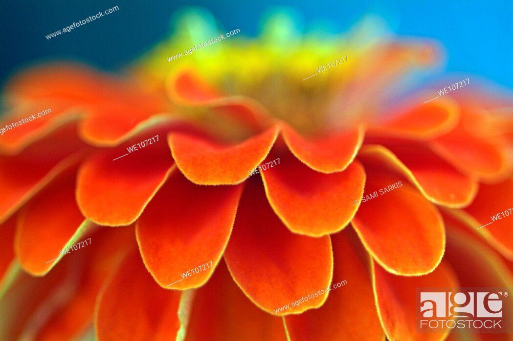 Stock Photo: Orange common zinnia zinnia elegans in garden.