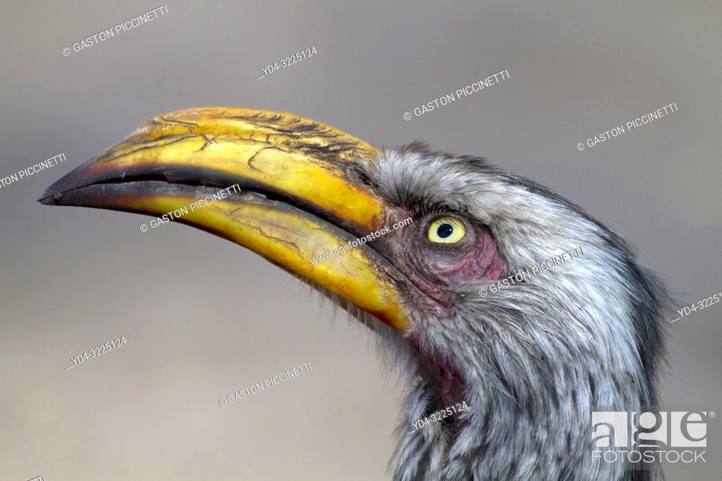Photo de stock: Southern Yellow-billed Hornbill (Tockus leucomelas), Moremi Game Reserve, Okavango delta, Botswana.
