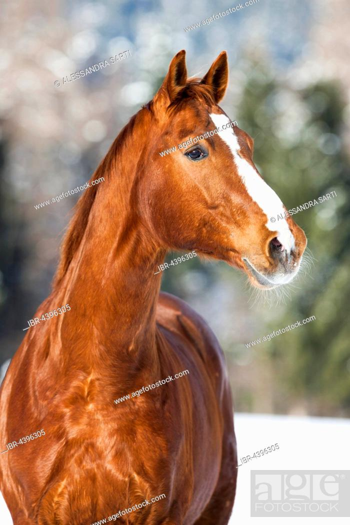 Imagen: Hanoverian horse with brown reddish fur, snow backdrop, Tyrol, Austria.
