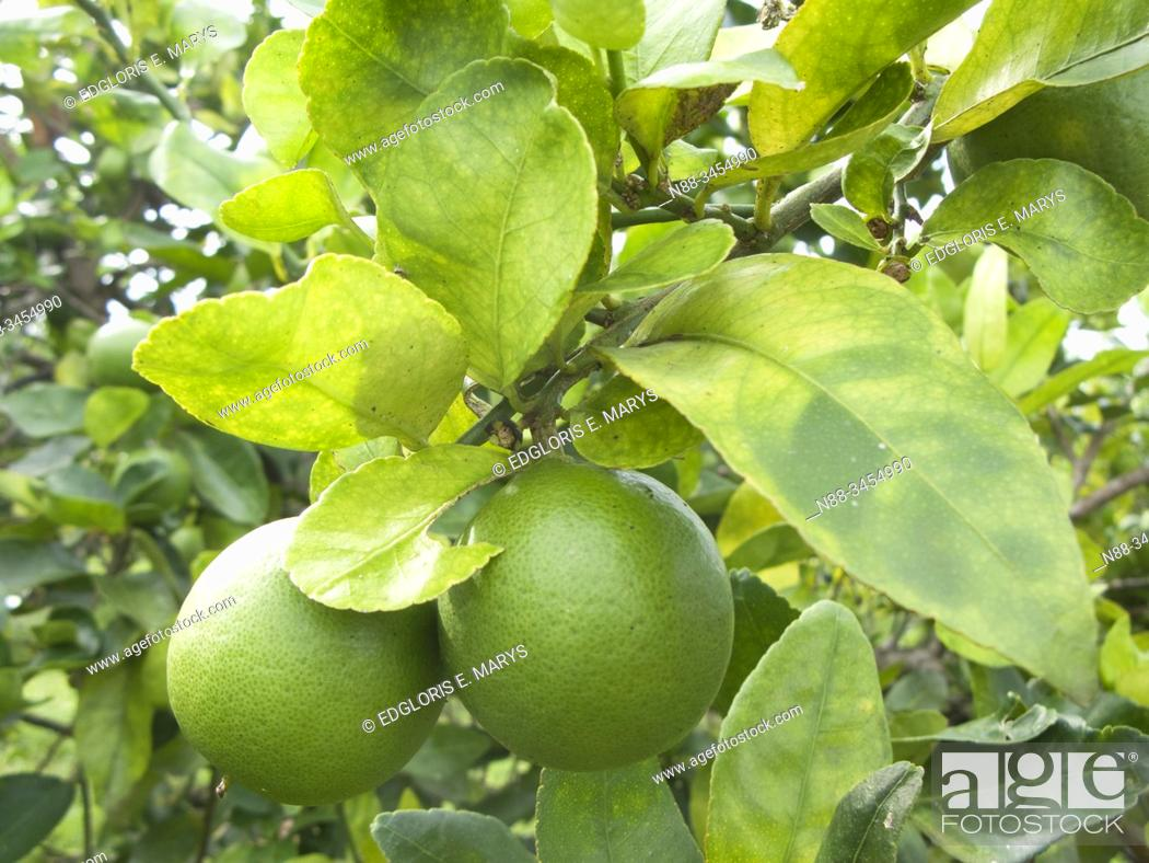 Stock Photo: Orange citrus trees orchard heavily infected with huanglongbing yellow dragon citrus greening plague deadly disease, Venezuela.