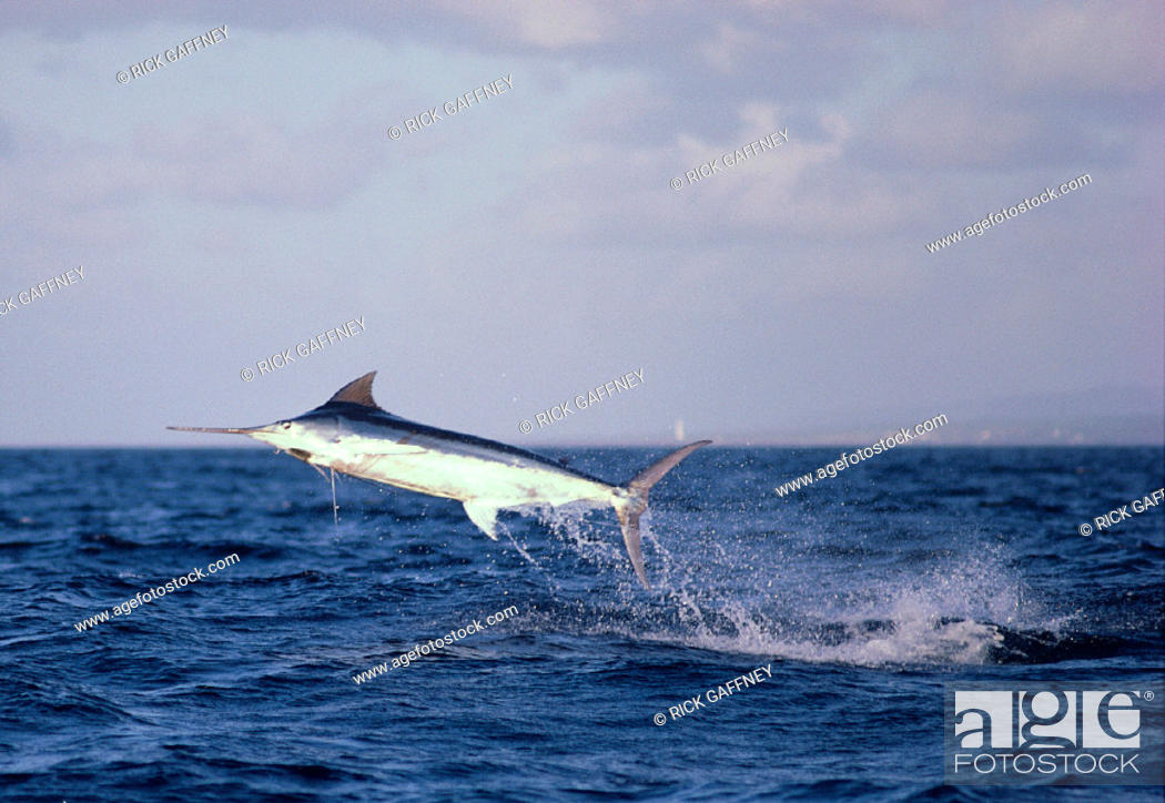 Stock Photo: Hawaii, Maui, Side view of Blue marlin jumping at sunset, pink sky C1383.