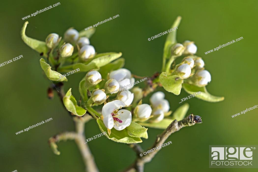 Stock Photo: Pear tree in flower, Eure-et-Loir department, Centre-Val-de-Loire region, France, Europe.