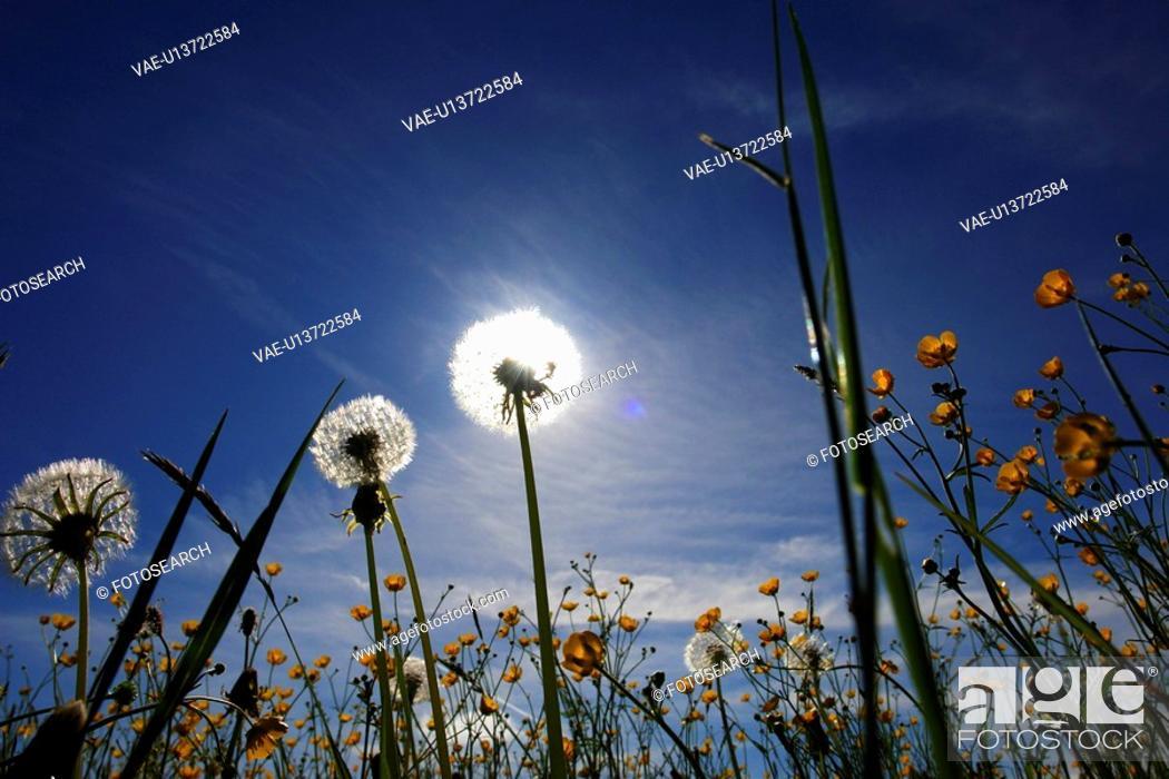 Stock Photo: blowball, flower, crowfoot, farmland, aue, outside, flowers.