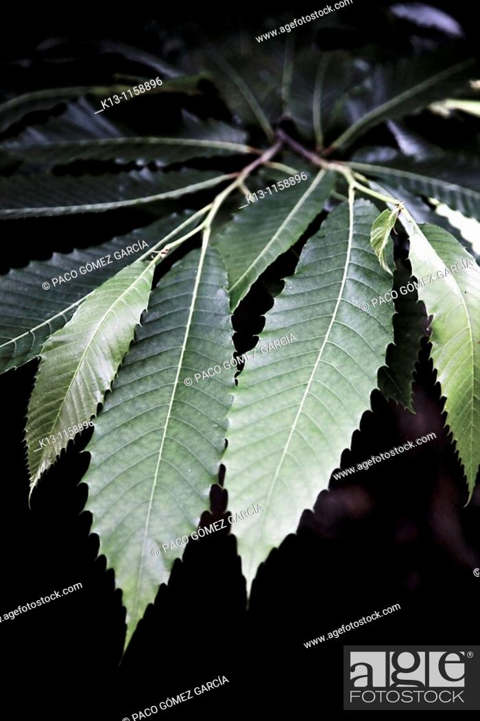 Stock Photo: Chestnut tree leaf  Natural Park of San Zadornil and Forestry Obarenes  Burgos  Castilla y León  Spain.