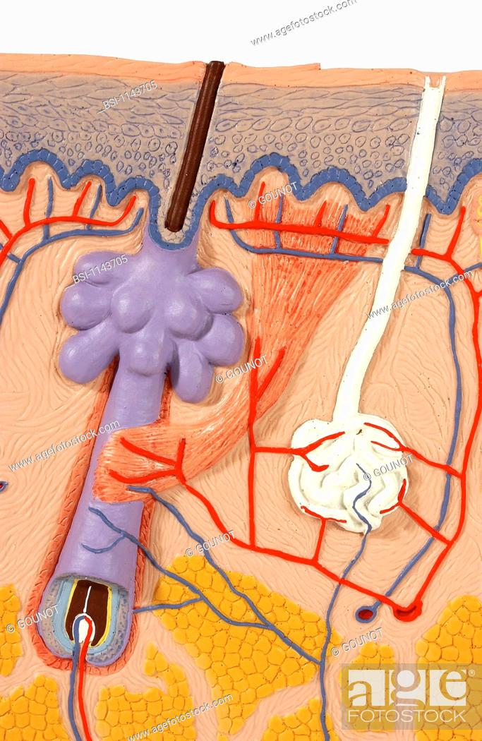 Anatomic model of the skin frontal section. The integumentary system ...