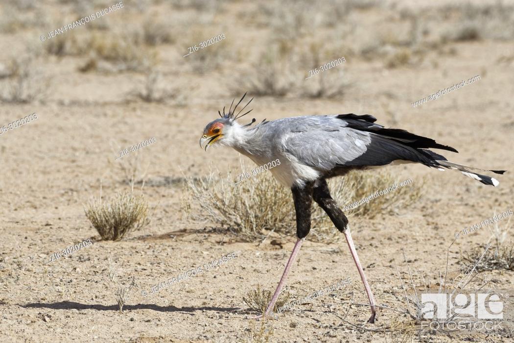 Stock Photo: Secretary bird (Sagittarius serpentarius), adult, looking for prey, concentrated, Kgalagadi Transfrontier Park, Northern Cape, South Africa, Africa.