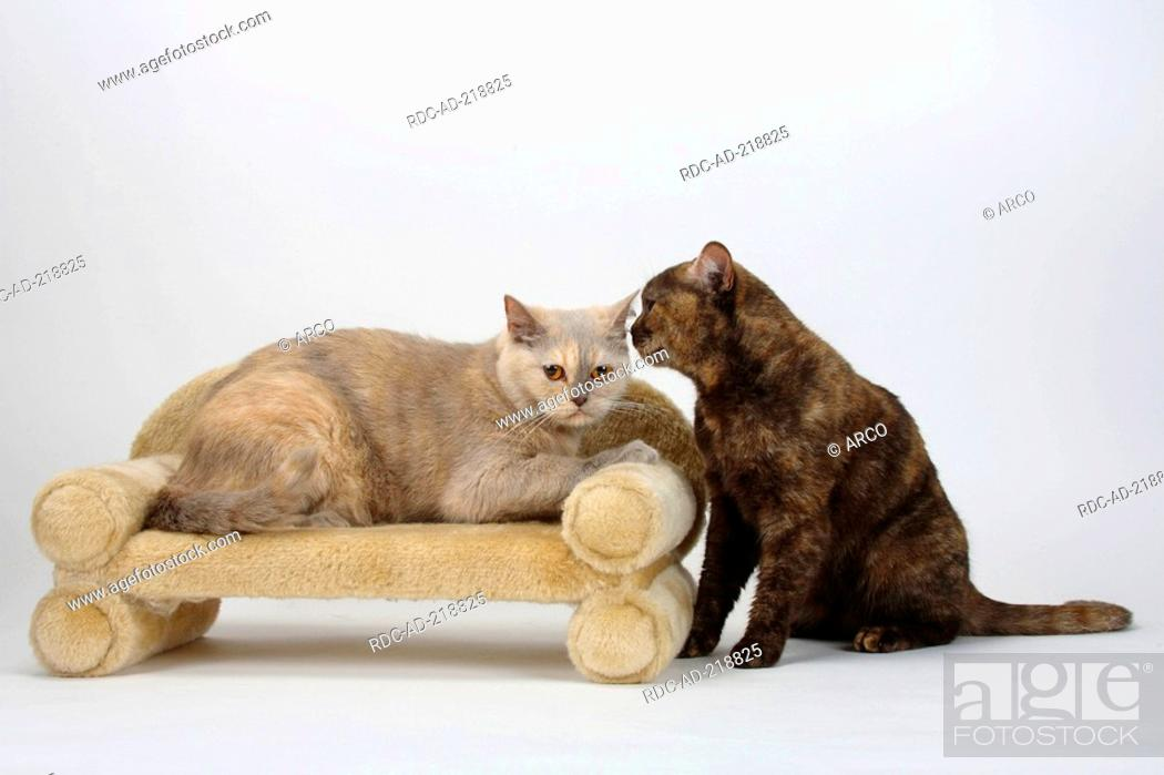 British Shorthair Cats Lilac Tortie And Chocolate Tortie Stock Photo Picture And Rights Managed Image Pic Rdc Ad 218825 Agefotostock