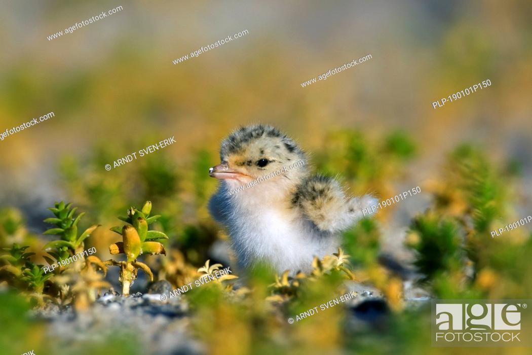 Stock Photo: Little tern (Sternula albifrons / Sterna albifrons) chick in saltmarsh in late spring / summer.