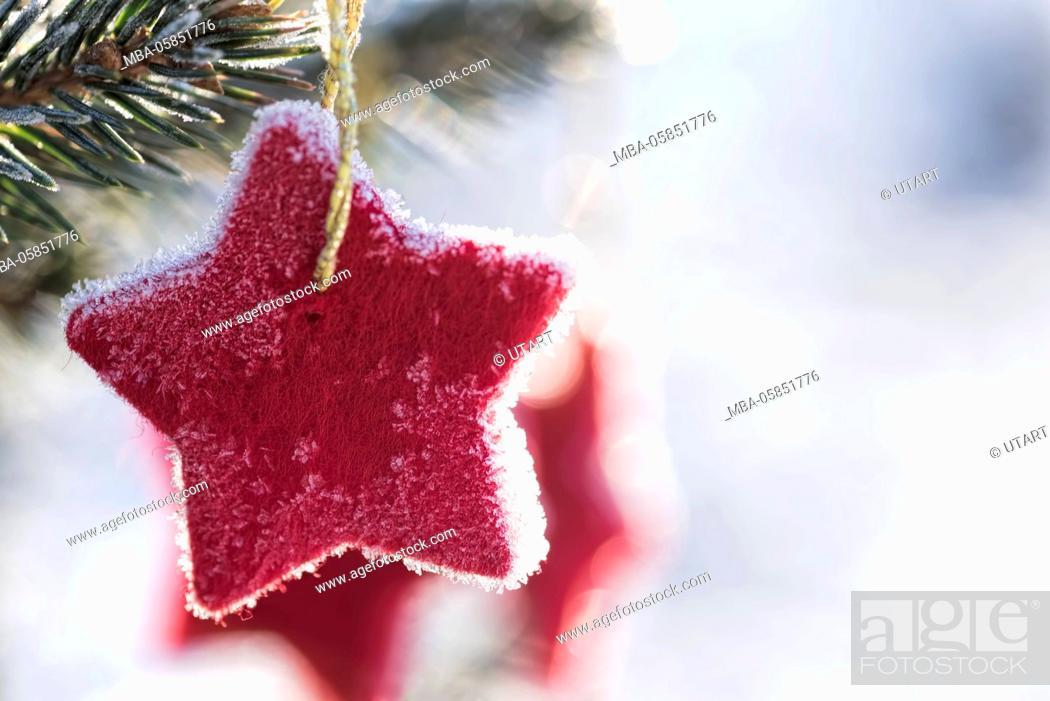 Stock Photo: Wintry scene, red Feltstar in a fir branch, back light,.
