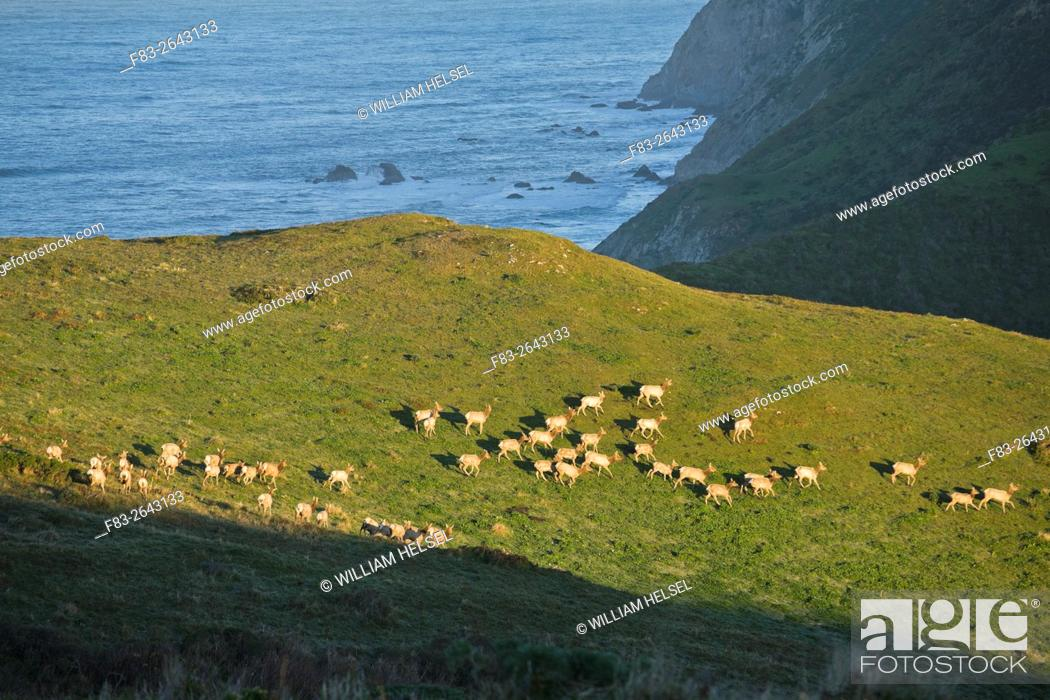Stock Photo: Point Reyes National Seashore, Marin County, California, USA, Tule elk (Cervus nannodes) cows on Tomales Point, Pacific Ocean in background, January.