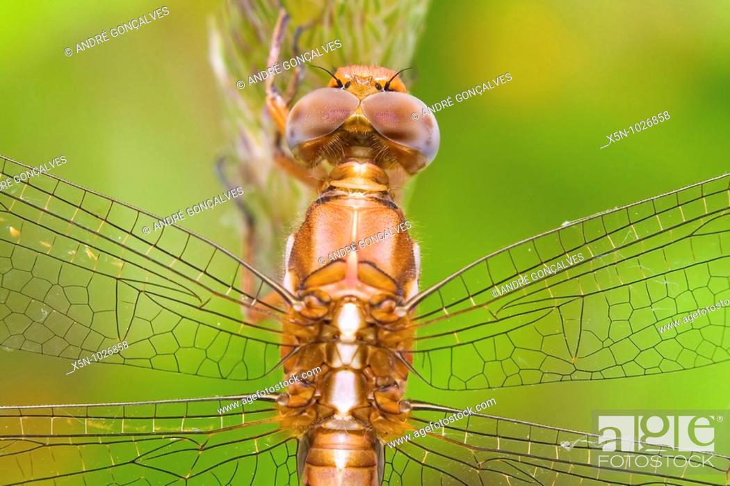 Stock Photo: Dragonfly in Portugal.
