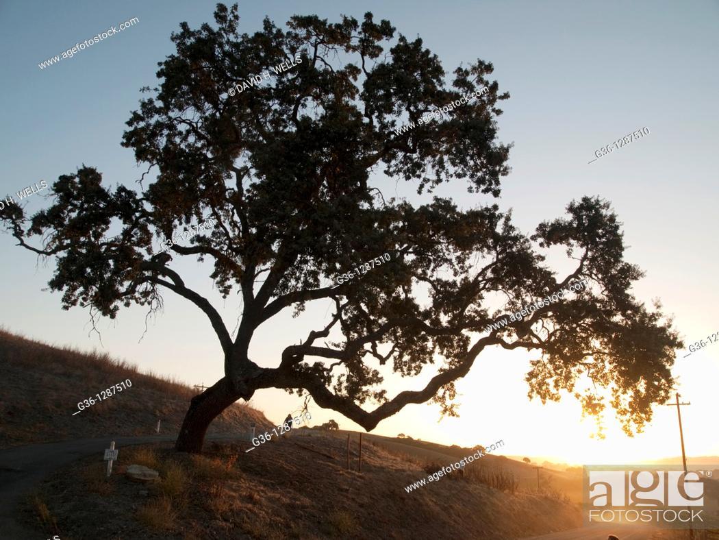 Stock Photo: Oak tree at sunrise near Paso Robles, California, USA.