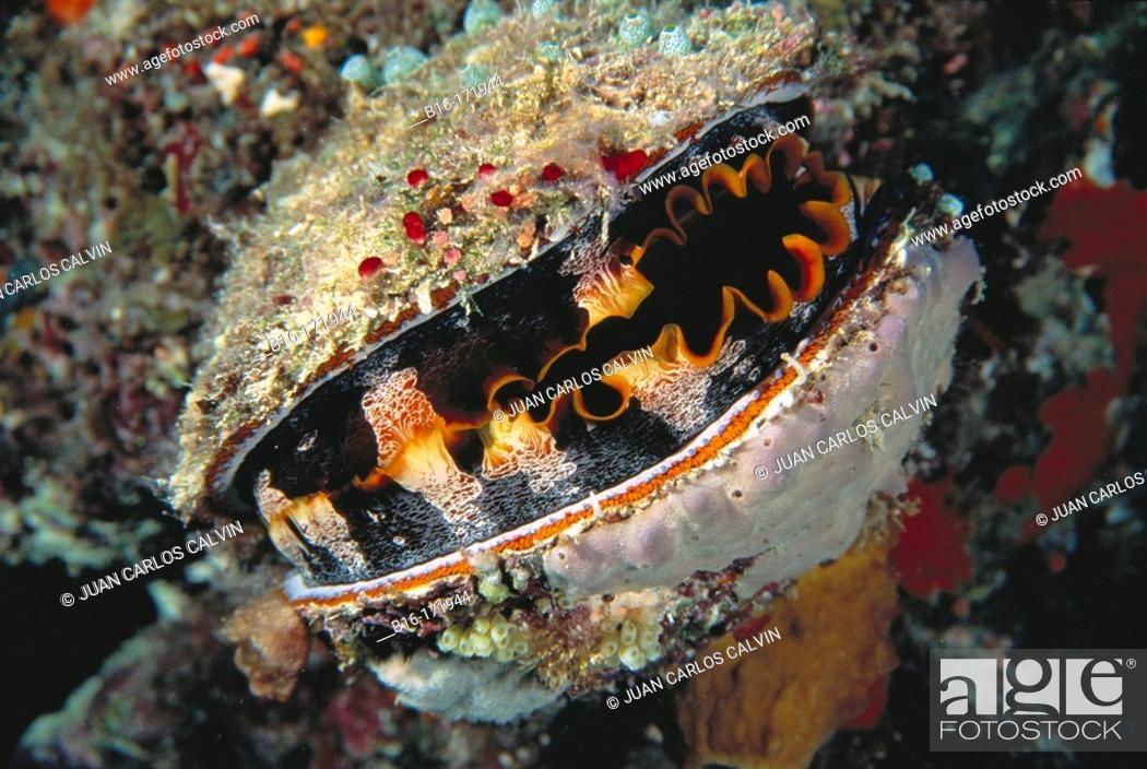Stock Photo: Thorny Oyster (Spondylus varius). Great Barrier Reef. Australia.