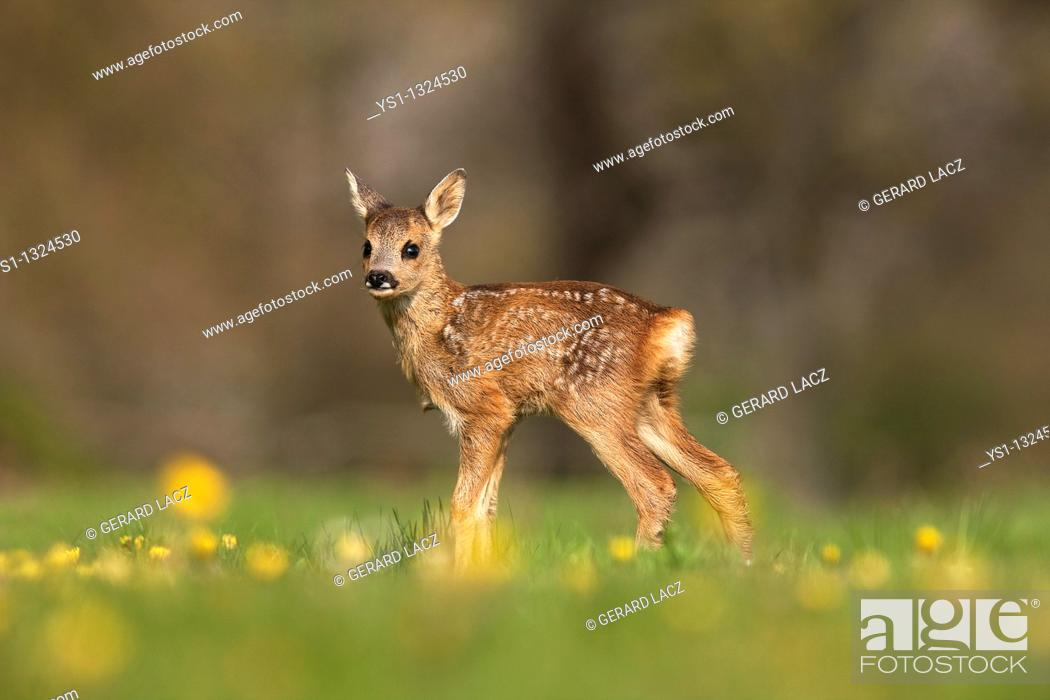 Stock Photo: Roe Deer, capreolus capreolus, Foan with Flowers, Normandy.