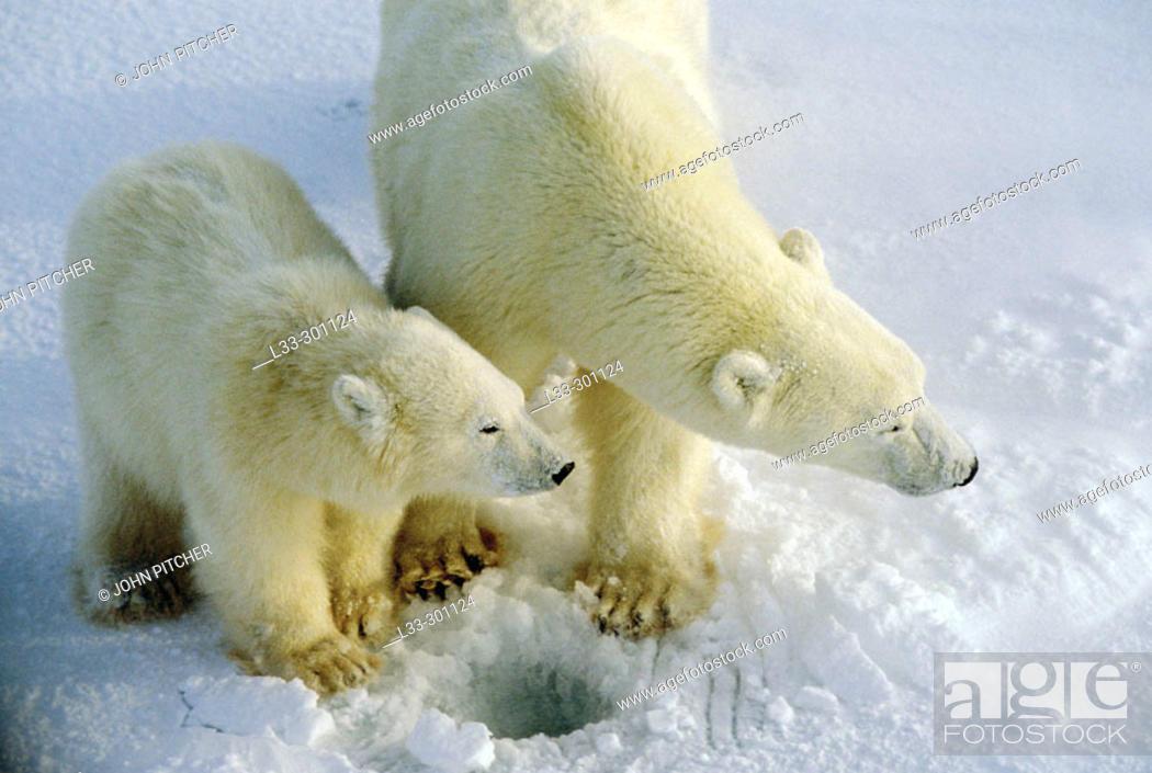 Stock Photo: Polar bear (Ursus maritimus) sow and cub. Cape Churchill, near the Arctic circle.