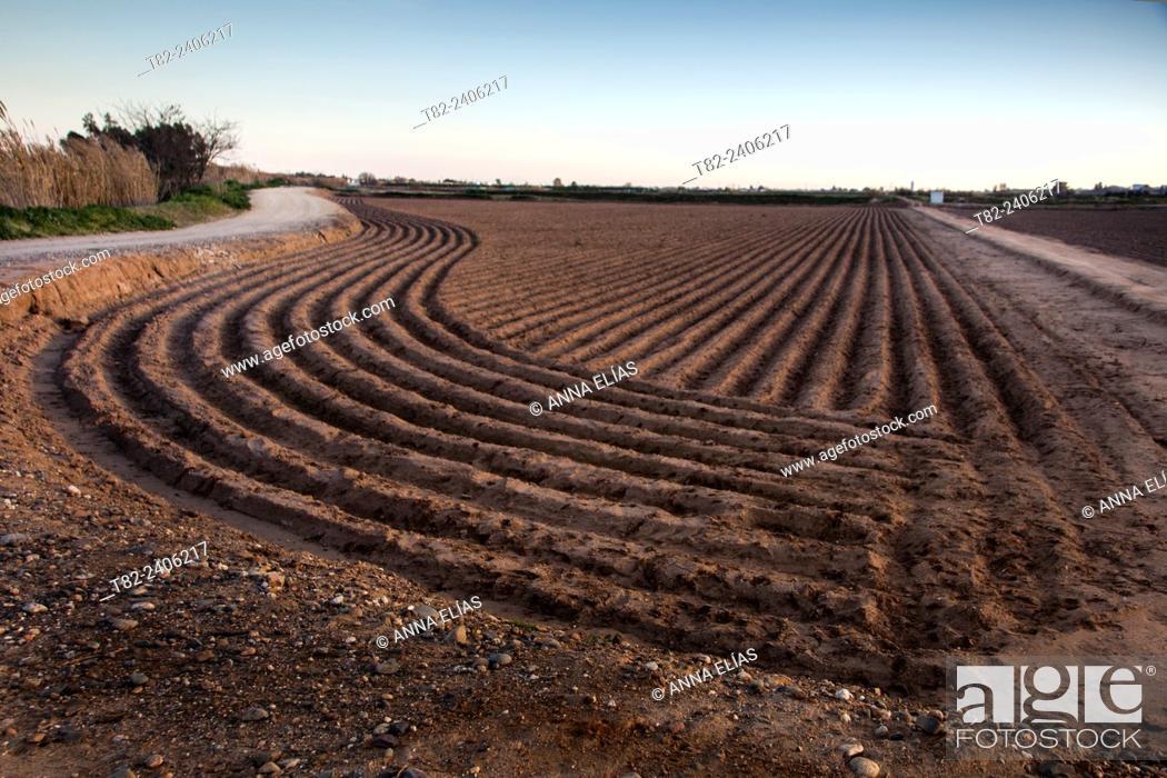 Stock Photo: growing potatoes, Torre de la Reina, Sevilla Andalucia, Spain, Europe.